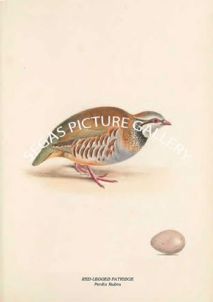 RED-LEGGED PATRIDGE - Perdix Rubra